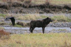 Wolf Watching 527