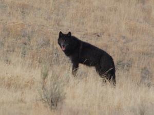Yellowstone wolf watching