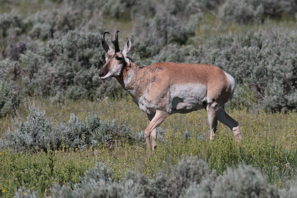 yellowstone pronghorn