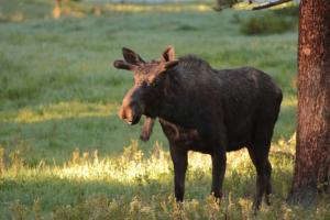 yellowstone moose 1