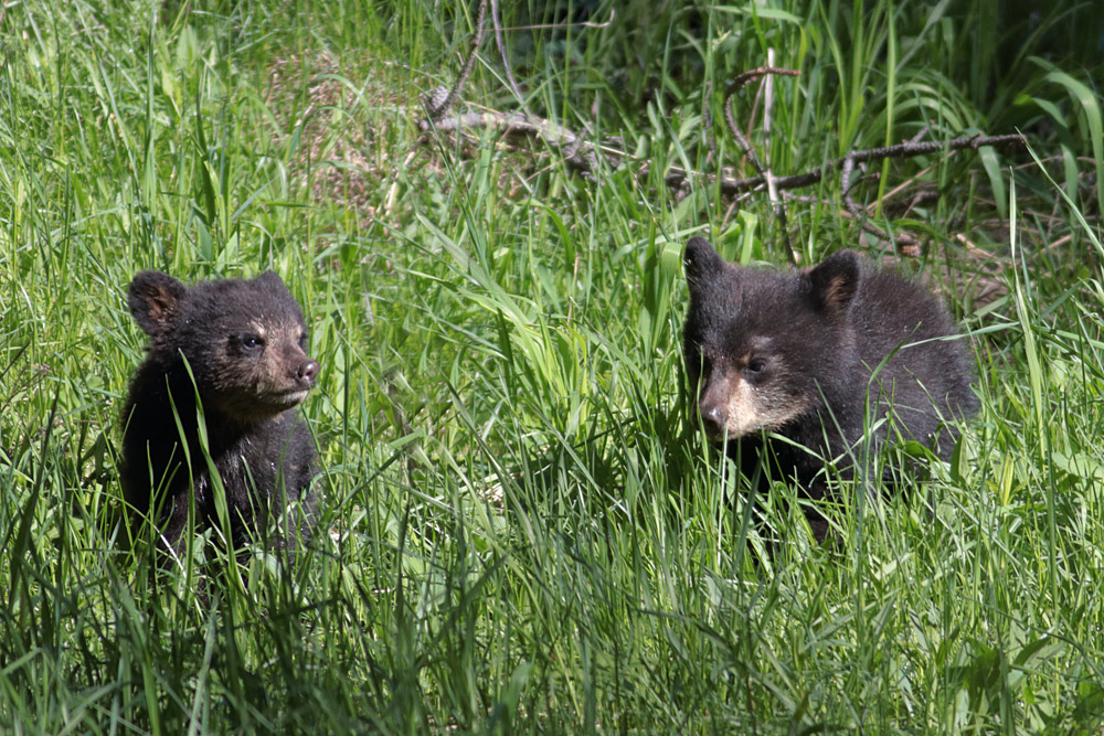 black bear cubs yellowstone